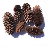 Zapfen Mischung Naturmaterial Tannenzapfen Kiefernzapfen Kranzdeko Floristik Bild 1