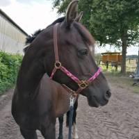Pferdehalfter Tauhalfter mit Leder, komplett handgenäht, für Mini Shetty, Shetty, Pony, Cob, Warmblut, Kaltblut Bild 8
