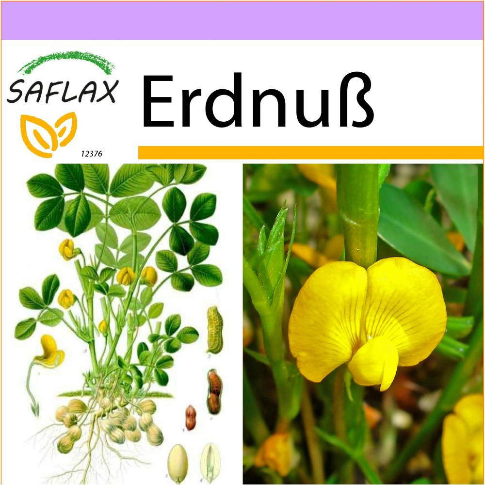 SAFLAX - Erdnuß - 8 Samen - Arachis hypogaea Bild 1