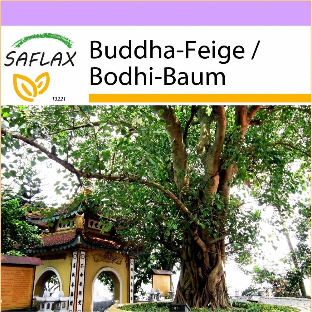 SAFLAX - Buddha-Feige / Bodhi-Baum - 100 Samen - Ficus religiosa Bild 1
