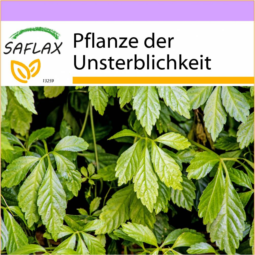 SAFLAX - Pflanze der Unsterblichkeit - 30 Samen - Gynostemma pentaphyllum Bild 1