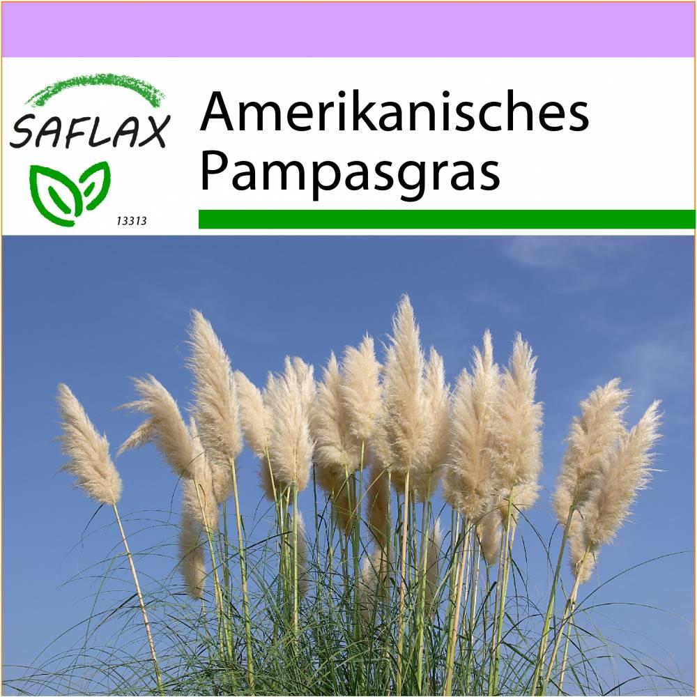 SAFLAX - Gräser-Bambus-Amerikanisches Pampasgras - 200 Samen - Cortaderia selloana Bild 1