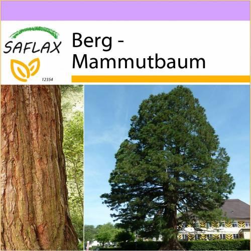 SAFLAX - Berg - Mammutbaum - 50 Samen - Sequoiadendron gigantea