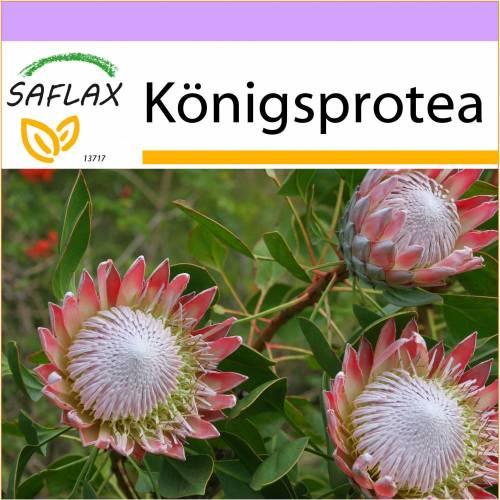 SAFLAX - Königsprotea - 5 Samen - Protea cynaroides