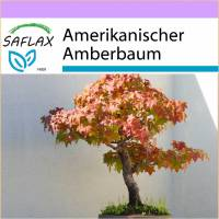 SAFLAX - Bonsai - Amerikanischer Amberbaum - 100 Samen - Liquidamber styraciflua Bild 1