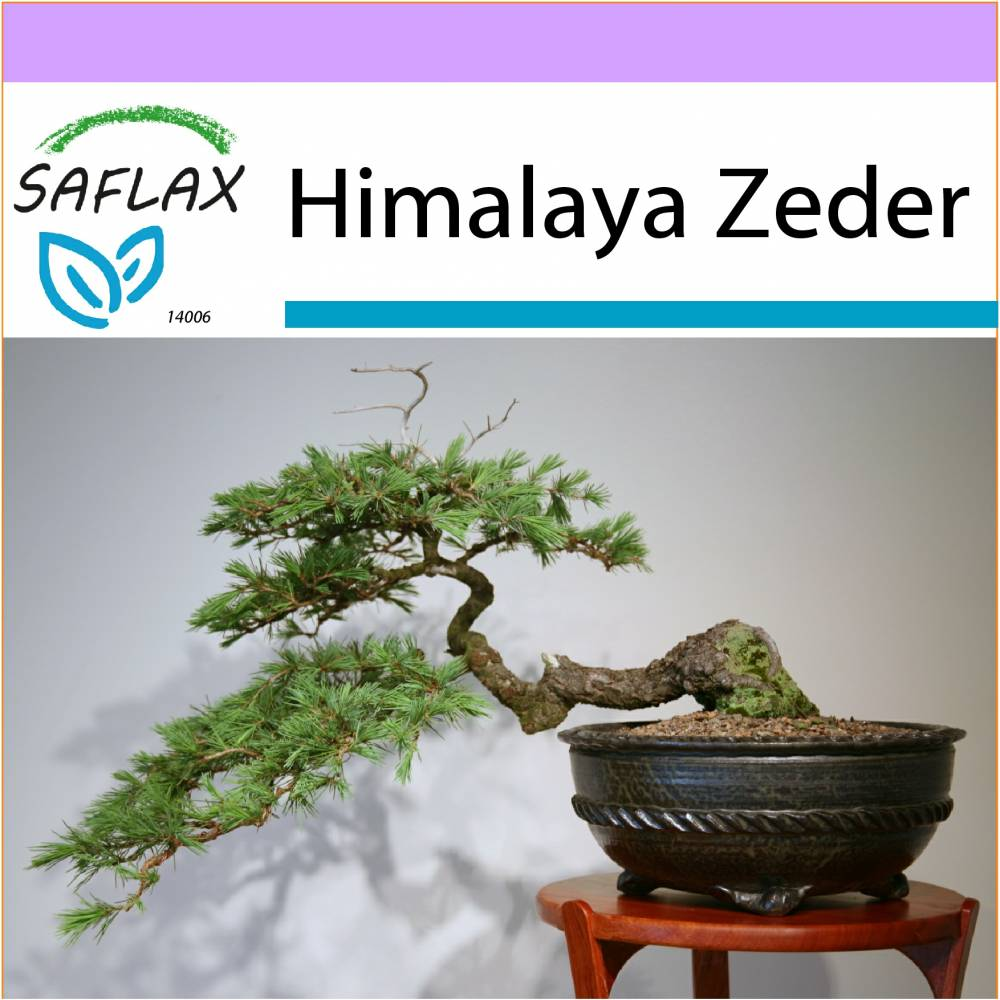 SAFLAX - Bonsai - Himalaya Zeder - 35 Samen - Cedrus deodara Bild 1