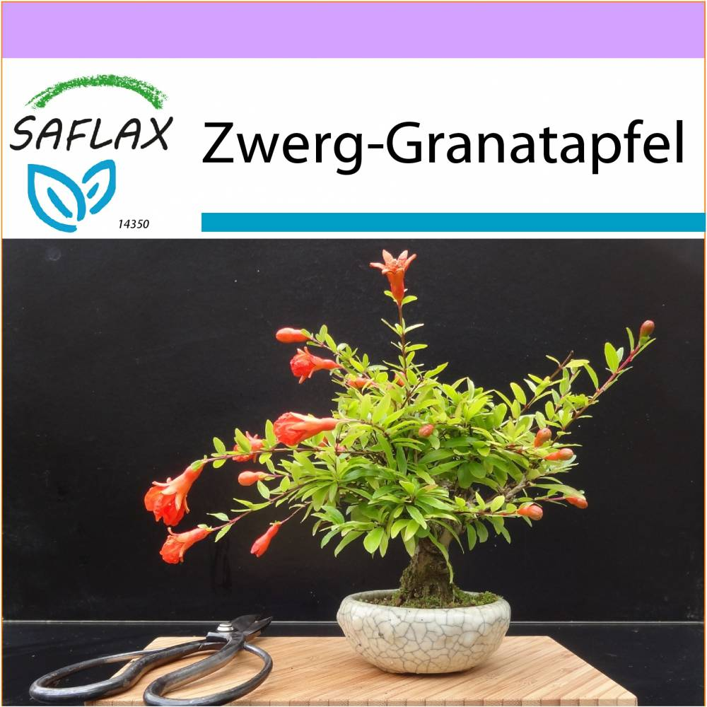 SAFLAX - Bonsai - Zwerg-Granatapfel - 50 Samen - Punica granatum nana Bild 1