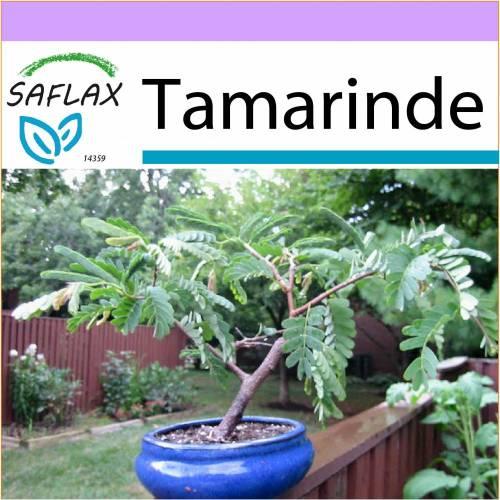 SAFLAX - Bonsai - Tamarinde - 4 Samen - Tamarindus indica