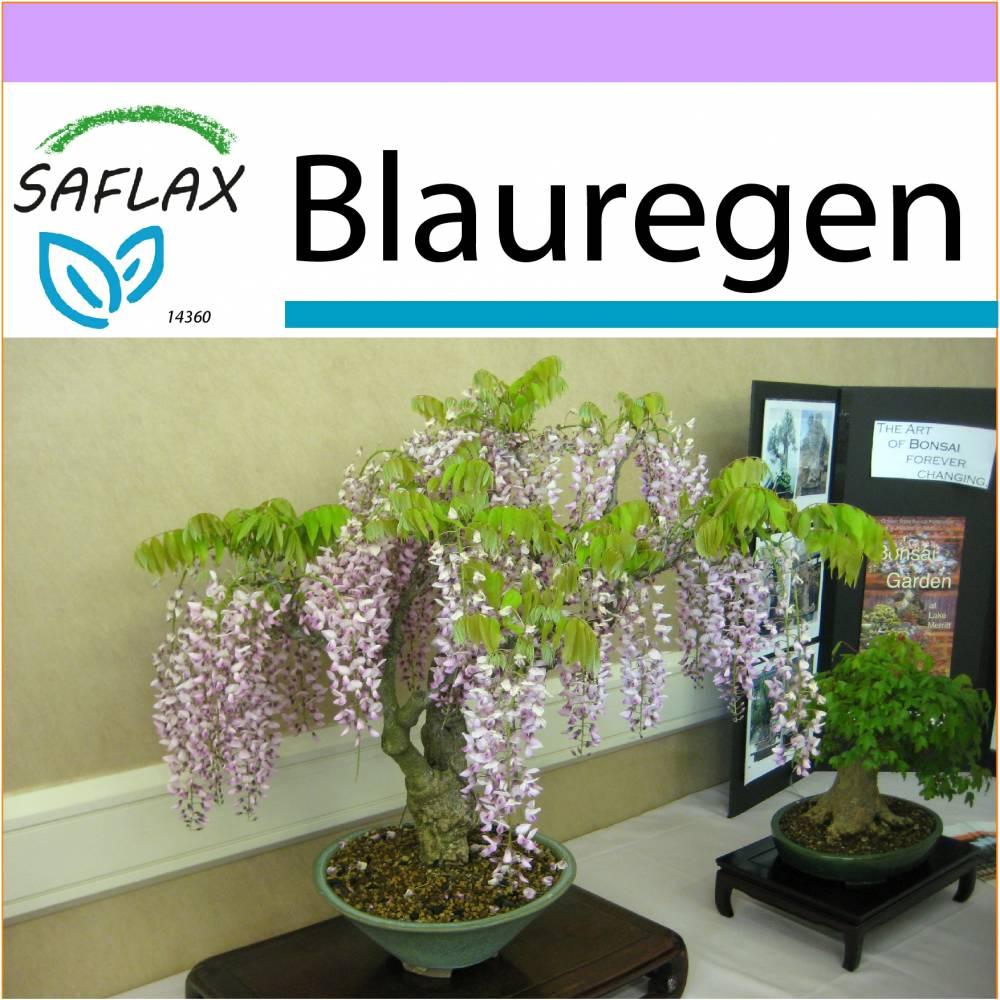 SAFLAX - Bonsai - Blauregen  - 4 Samen - Wisteria sinensis Bild 1