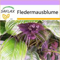 SAFLAX - Fledermausblume - 10 Samen - Tacca chantrieri Bild 1
