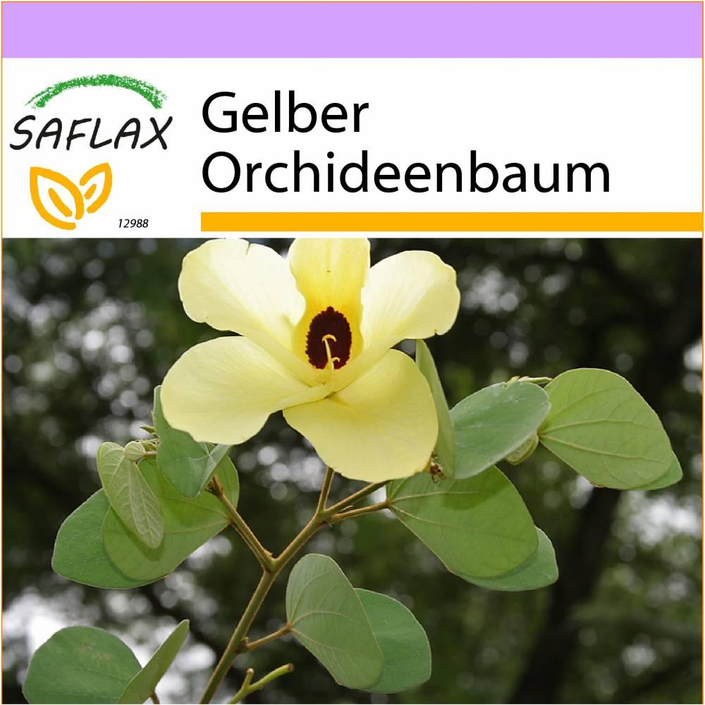 SAFLAX - Gelber Orchideenbaum - 30 Samen - Bauhinia tomentosa Bild 1