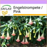 SAFLAX - Engelstrompete / Pink - 10 Samen - Brugmansia suaveolens Pink Bild 1