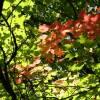 SAFLAX - Rotahorn - 20 Samen - Acer rubrum Bild 5