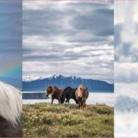 Jersey Panel mit Islandpferden Ponies 3-teilig Stenzo Digital 75 x 150 cm Bild 1