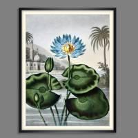 Blaue Wasserlilie Illustration Blumenbild 1804 Vintage Shabby Boho -  Kunstdruck Fineart - Wanddekoration Bild 1