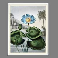 Blaue Wasserlilie Illustration Blumenbild 1804 Vintage Shabby Boho -  Kunstdruck Fineart - Wanddekoration Bild 4