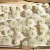 Bastelzubehör, Naturmaterial, 50 getrocknete Löwenzahnköpfe, Pusteblumen zum Dekorieren und Basteln Bild 1