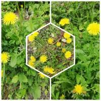 Bastelzubehör, Löwenzahnsamen, Pusteblumen Samen getrocknet Schirmfliegersamen, zum Basteln und Dekorieren Bild 5