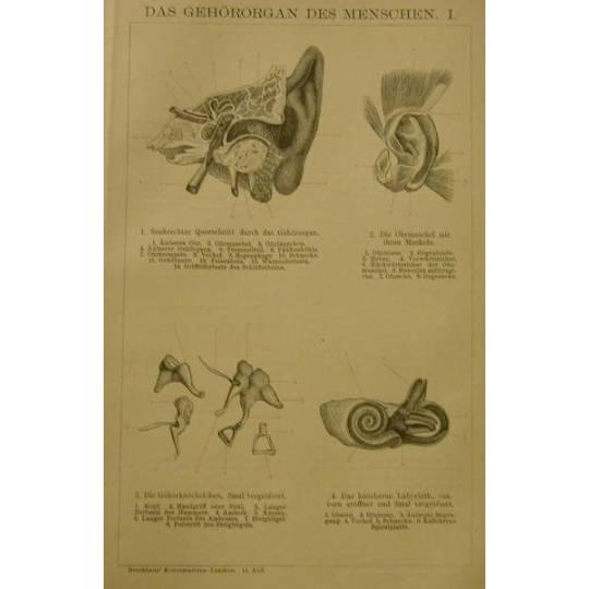 Original  Holzstich 1895 das Gehörorgan des Menschen       Bild 1