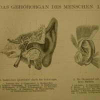 Original  Holzstich 1895 das Gehörorgan des Menschen       Bild 3