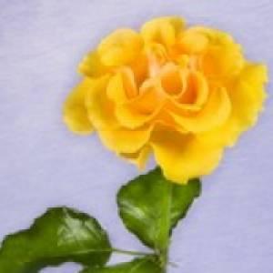 gelbenelke5